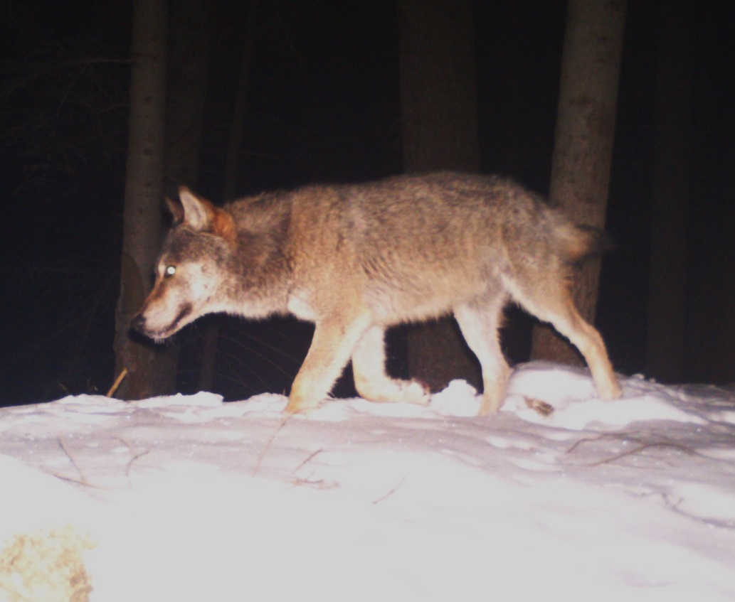 e113259efb3478 The role of members of the Working Group is to submit materials for  negotiation according to the Programme of Care of the Grey Wolf in  Slovakia